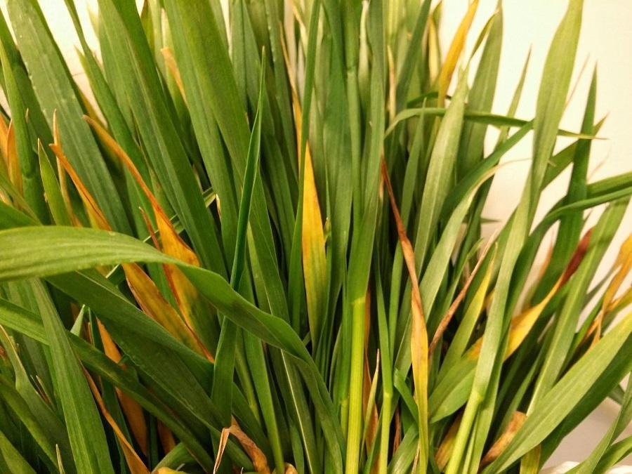 barley-yellow-dwarf-virus