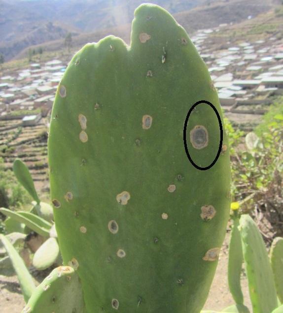 phoma-cereicola