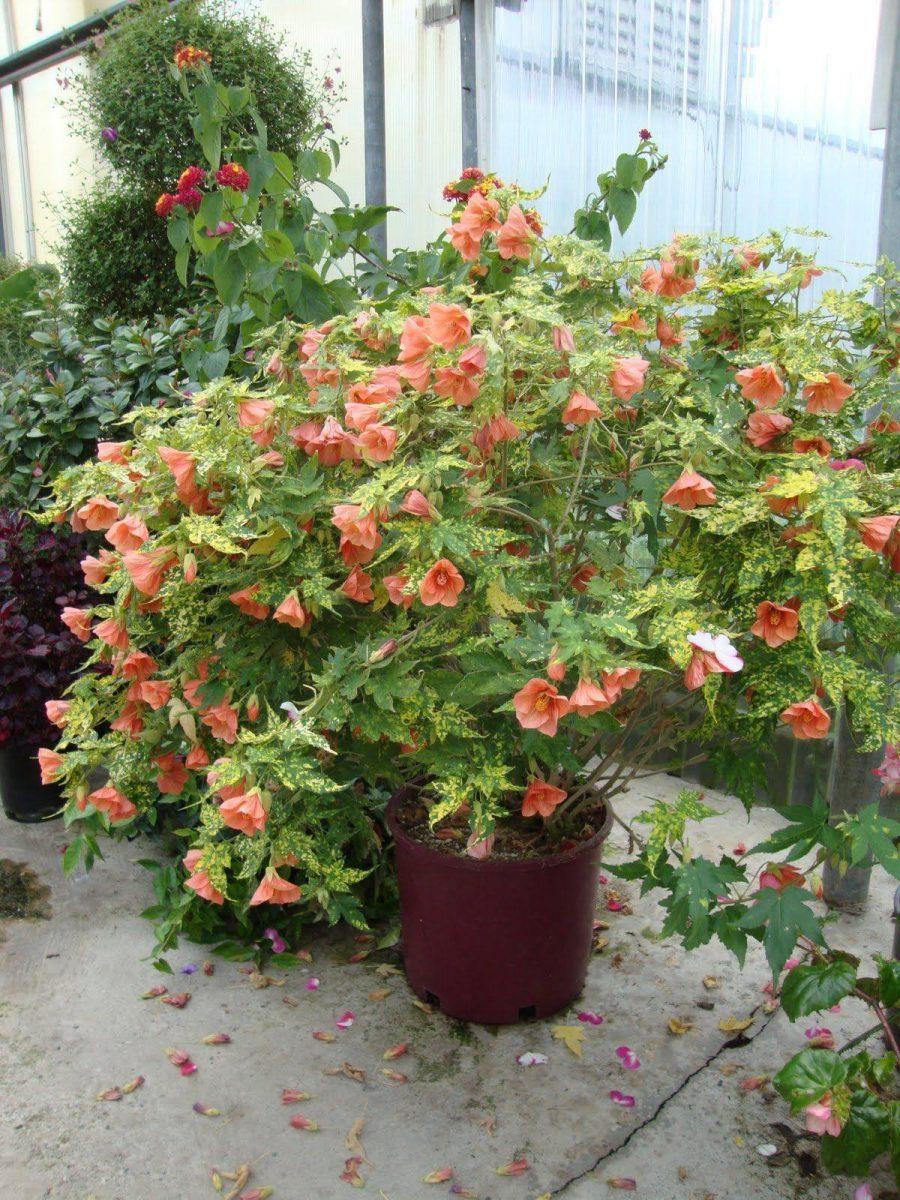 Комнатный клен абутилон: фото, выращивание из семян 87