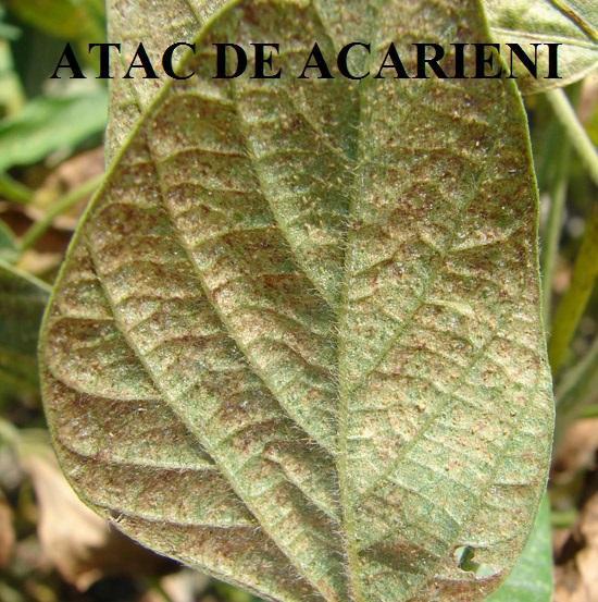 acarieni-soia
