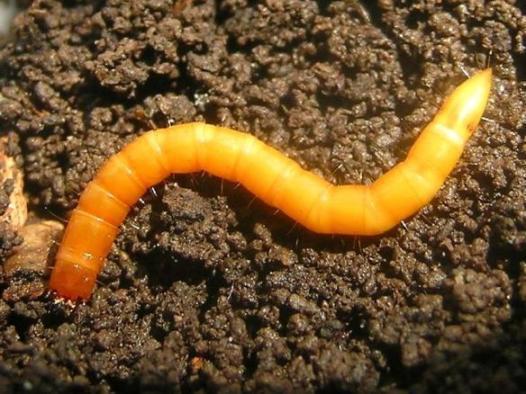 agriotes-spp-larva