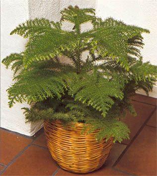 Araucaria sfaturi de ingrijire si cultivare plante - Araucaria plante d interieur ...