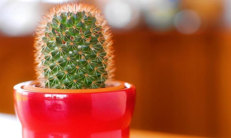 cactusul pierde în greutate