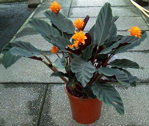 Calathea sfaturi de ingrijire si cultivare plante for Maranta pianta