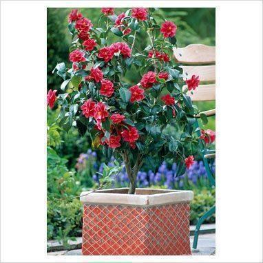 camellia sfaturi de ingrijire si cultivare plante decorative