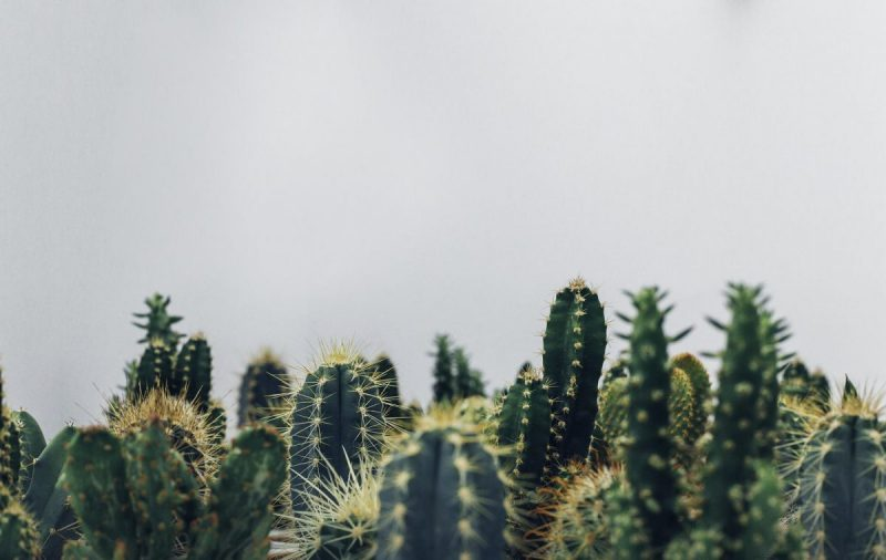 ingrijire cactusi