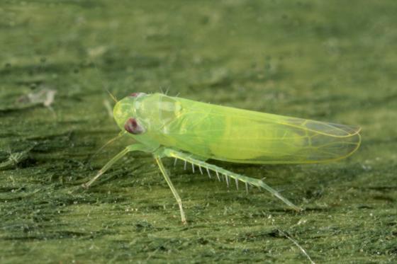 cicade-cartof