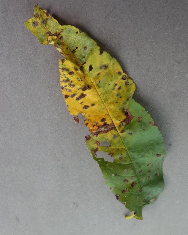 ciuruire-bacteriana