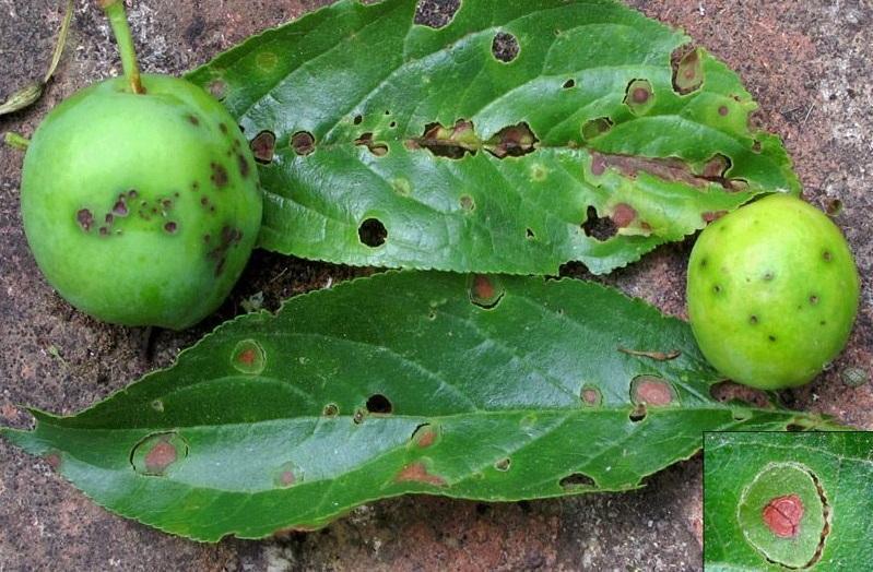ciuruirea-prunelor