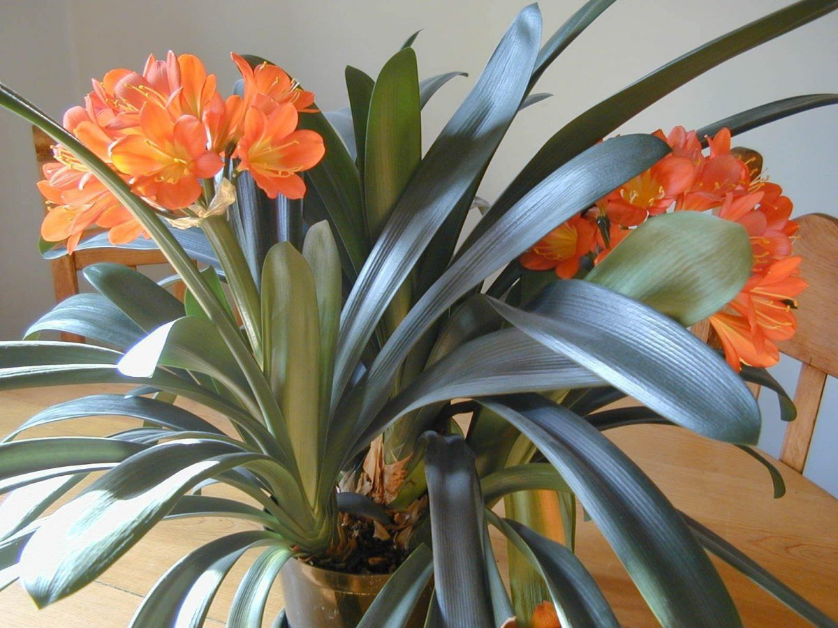 clivia sfaturi de ingrijire si cultivare plante decorative. Black Bedroom Furniture Sets. Home Design Ideas