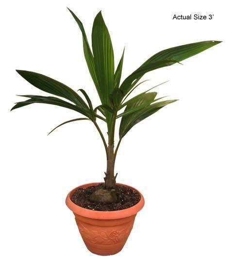Palmier cocos nucifera ingrijire