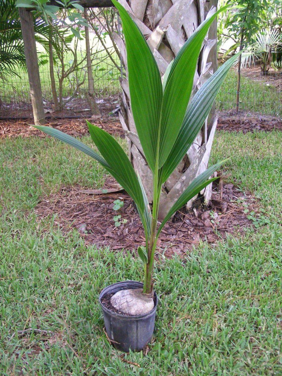 Выращивание пальма в домашних условиях 89