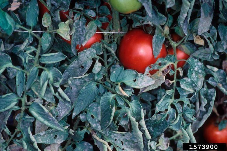 Fainarea tomatelor