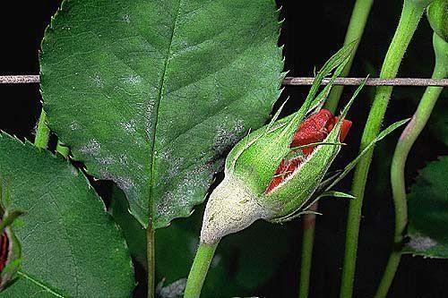 Fainarea trandafirului