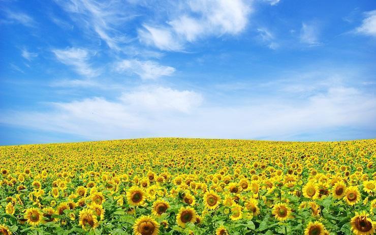 floarea-sorelui-wallpaper