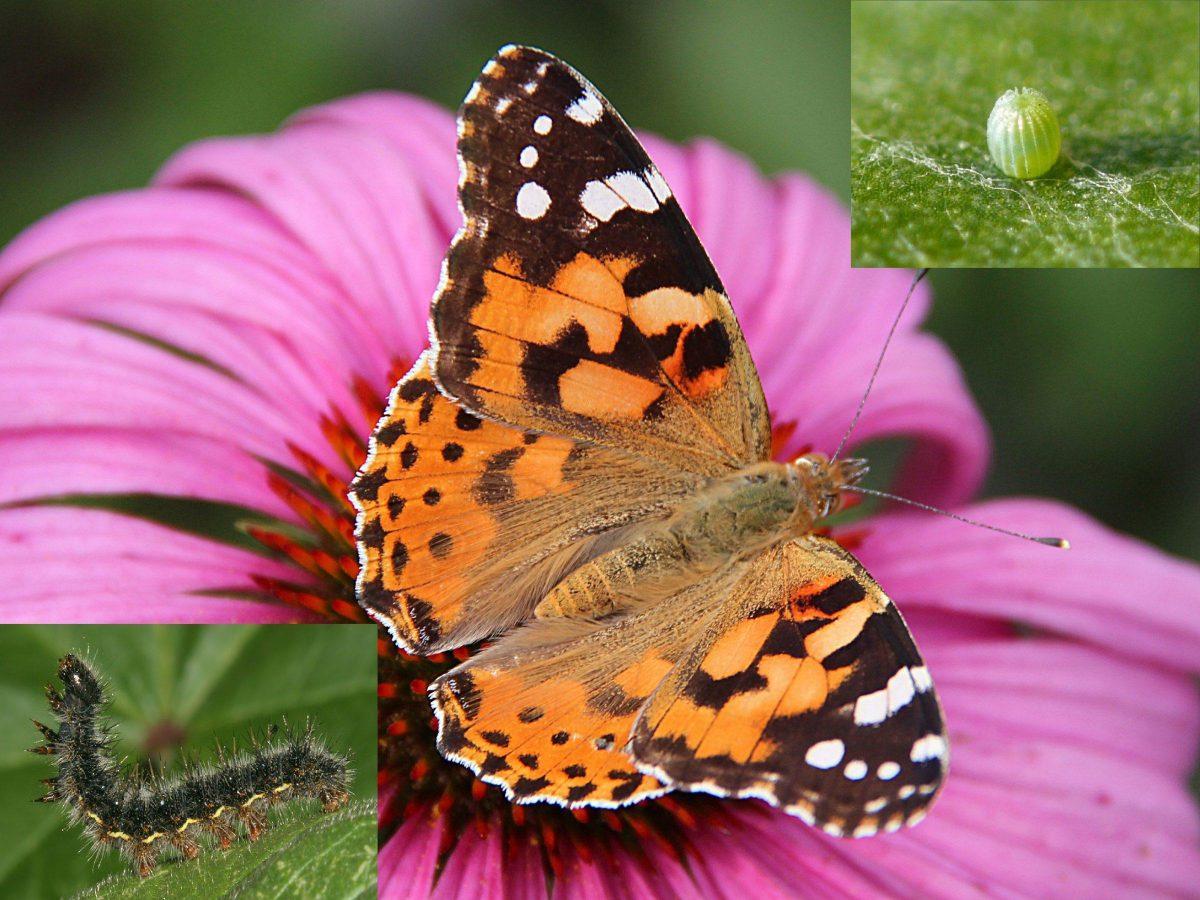 fluture-scaietilor