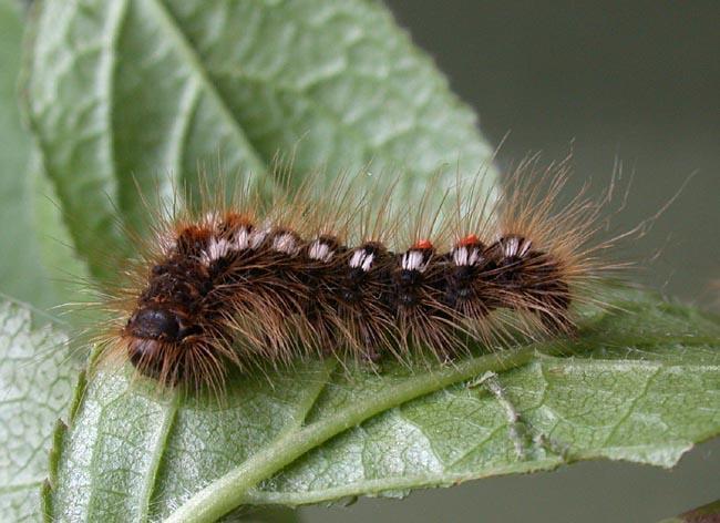 fluturele-abdomen-auriu