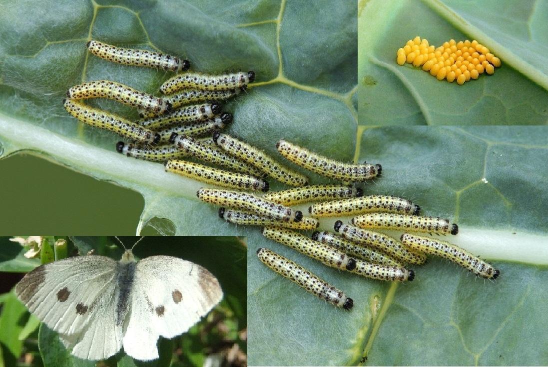 fluturele-alb-al-verzei