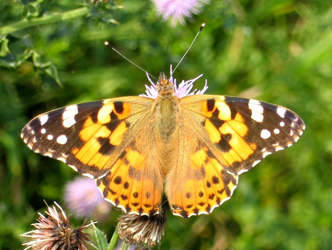 fluturele-caramiziu