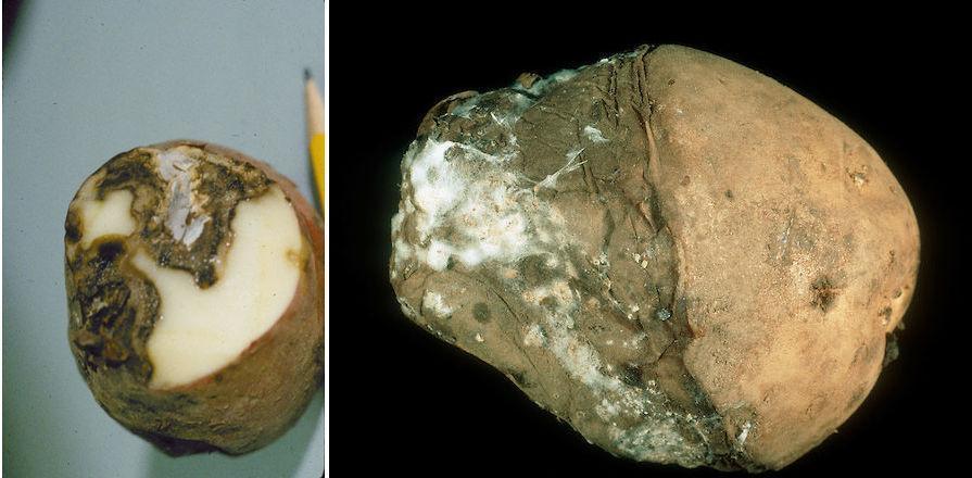 fusarioza-cartof