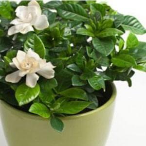 gardenia-care