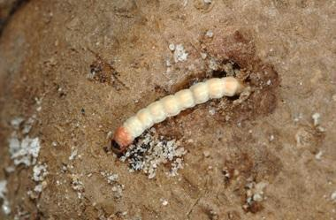 larva-molia-cartofului