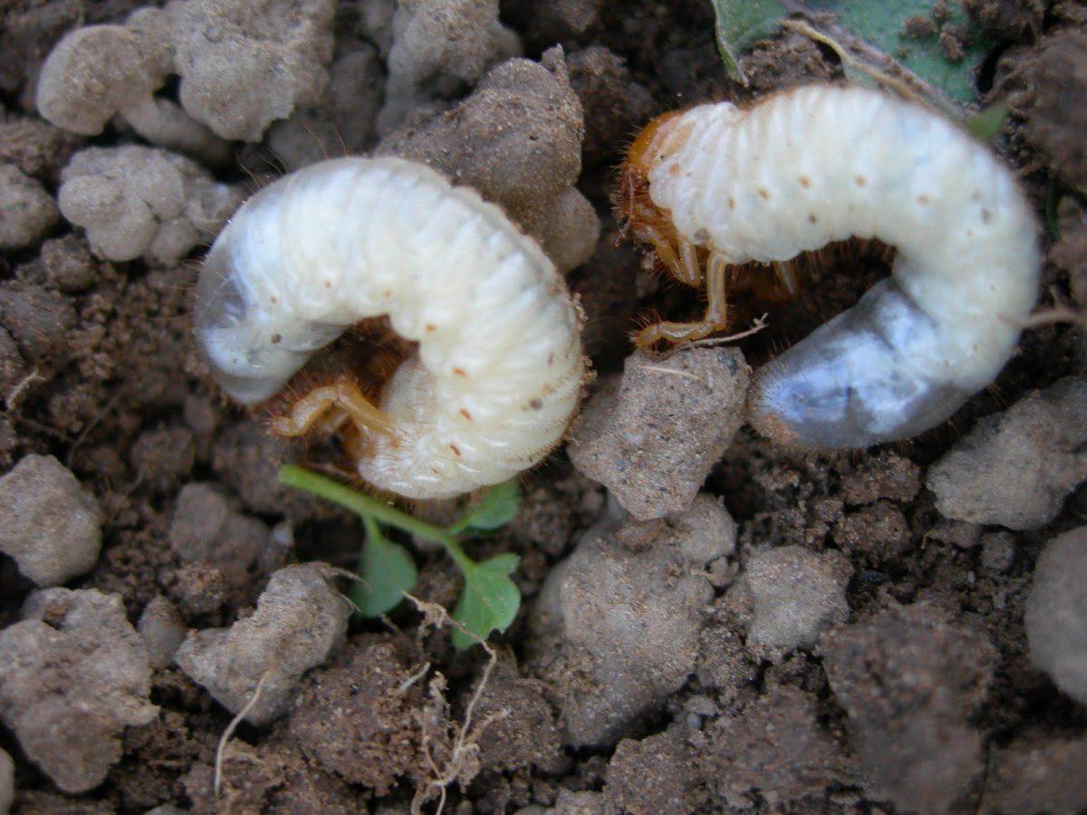 Larva carabus de mai