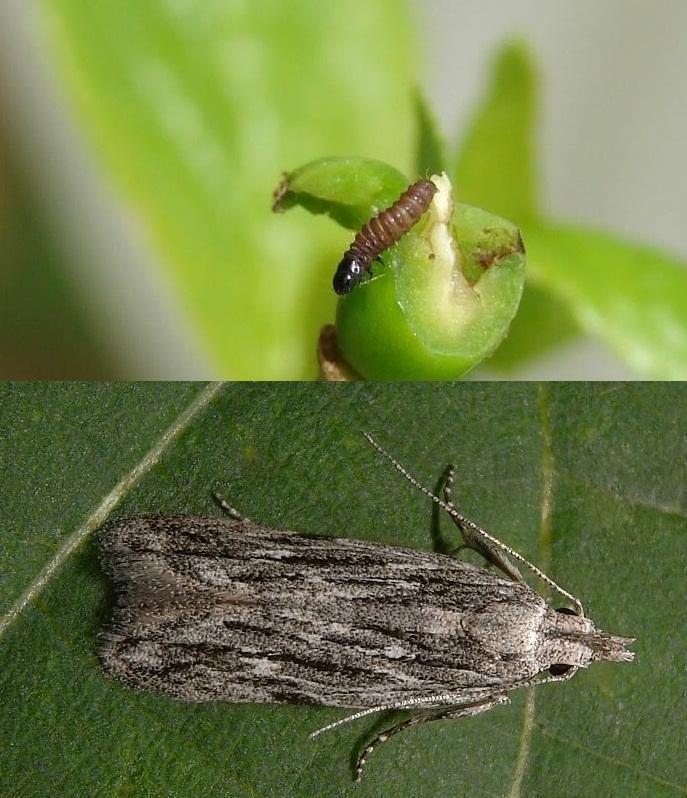 molia