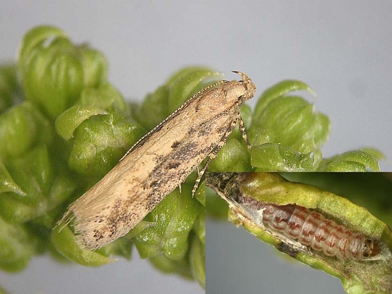 molia-adult