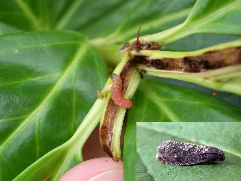molia-orientala
