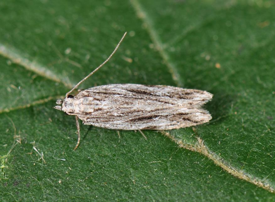 molia-vargata