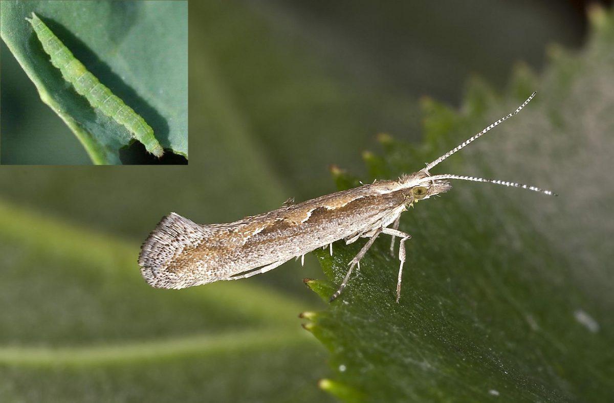 molia-verzei-adult