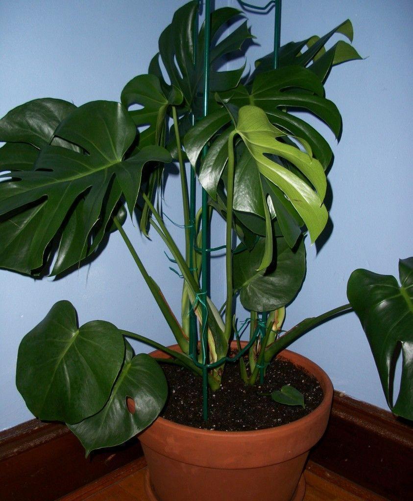 Monstera sfaturi de ingrijire si cultivare plante for Plante decorative