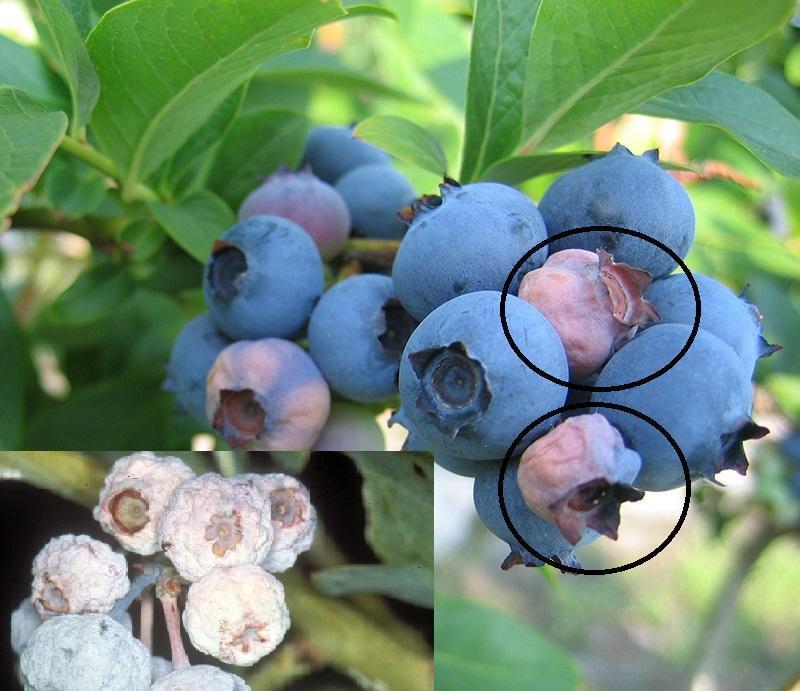 mumifierea-fructelor