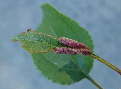 musca-frunzelor