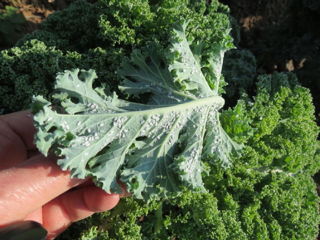 musculita-salata