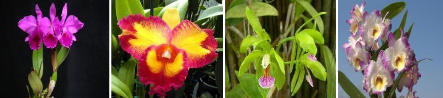 orhidee-cattleya-ingrijire