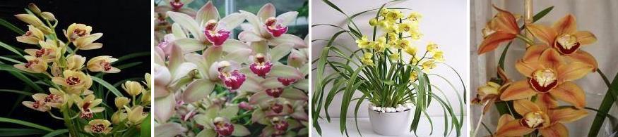 orhidee-cymbidium-ingrijire