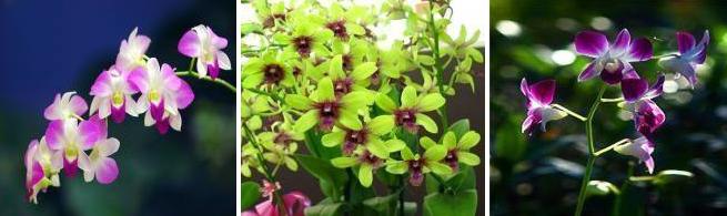 orhidee-dendrobium-ingrijire