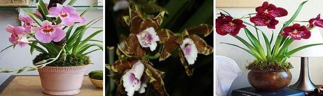 orhidee-miltonia-cultivare