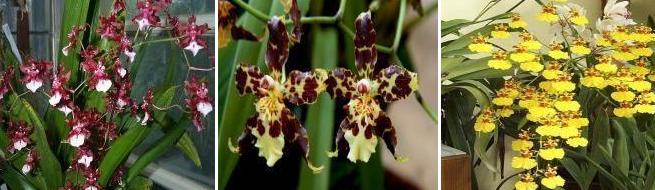 orhidee-oncidium-crestere