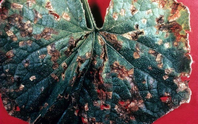 pseudomonas-patarea bacteriana