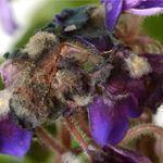 Putregai violete