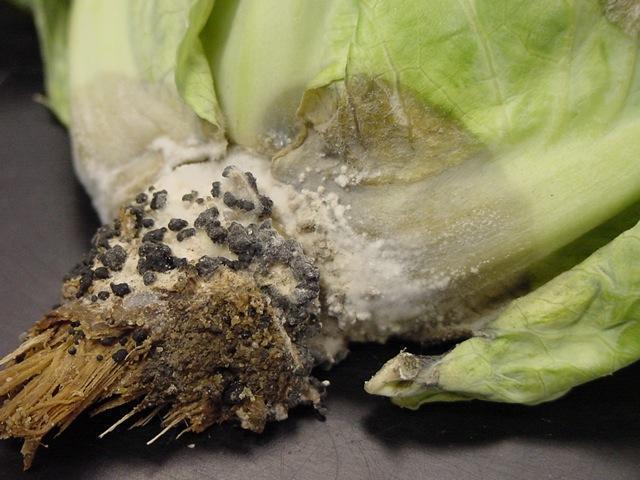 putregaiul-alb-conopida2