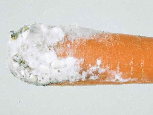 putregaiul-alb-morcov