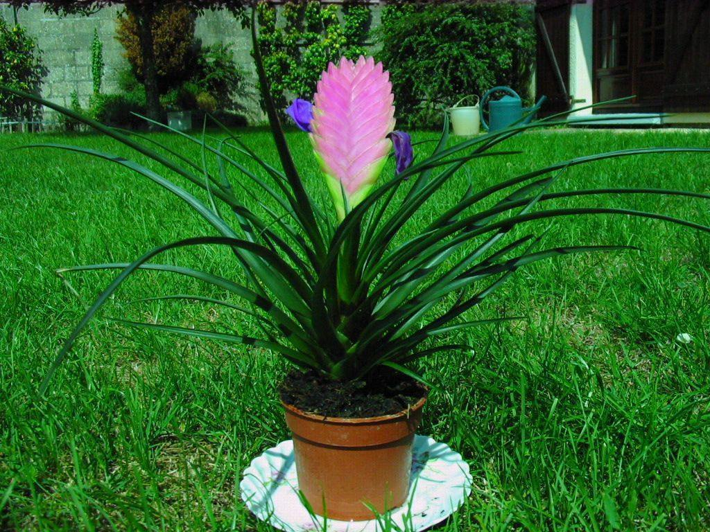 Tillandsia sfaturi de ingrijire si cultivare plante de for Tillandsia pianta