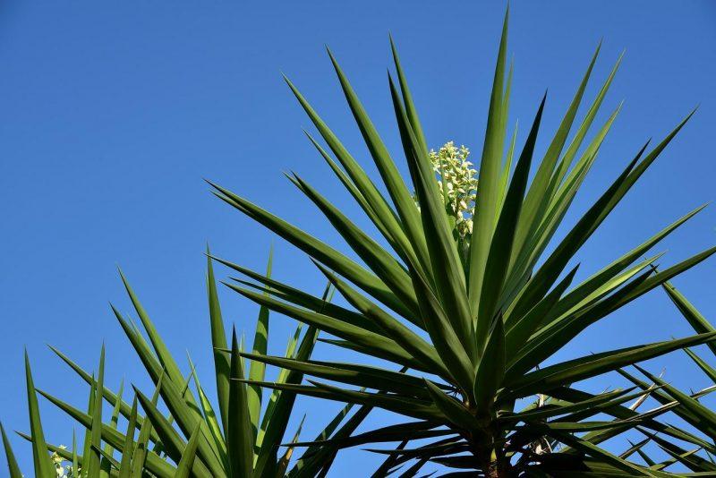 yucca-ingrijire