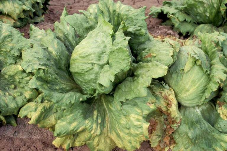 mana-salatei