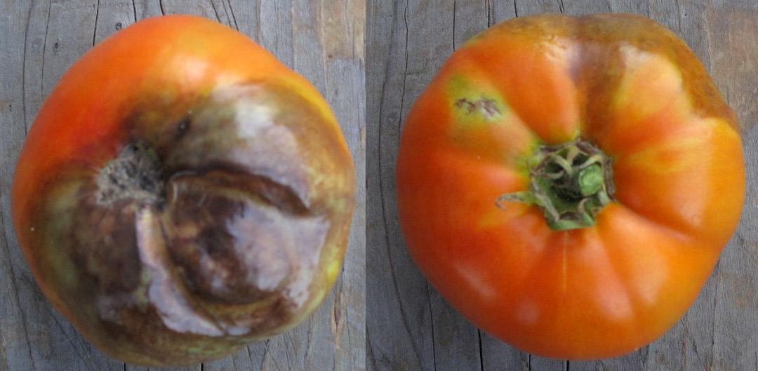 mana tomatelor