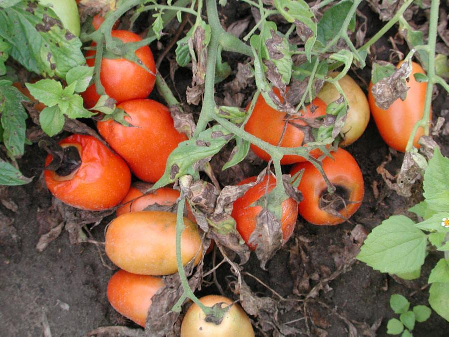 patarea bruna la tomate